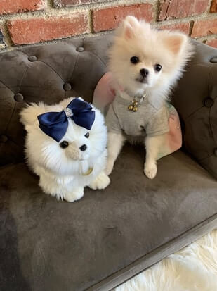 How Much Does a White Pomeranian Puppy Cost
